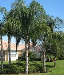 landscaping ideas with queen palm trees pdf