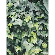 shop 3 43 gallon english ivy l5369hp at lowes com