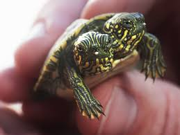 two headed turtle thelma and louise get their own facebook page