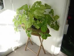 houseplant trellis 9 house plants you won u0027t kill daily mom