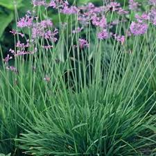 society garlic seeds tulbaghia violacea silver lace flower seed