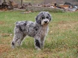australian shepherd quesnel aussiedoodle australian shepherd x poodle cross animals dogs
