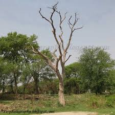 dead sissoo tree pictures nature cultural and travel