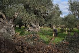 the arches of the olive tree kingdom my messinia