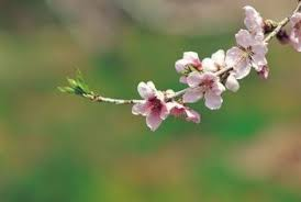 diseases of the japanese weeping cherry tree home guides sf gate