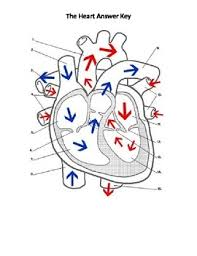 worksheet parts and flow organs body systems cardiovascular