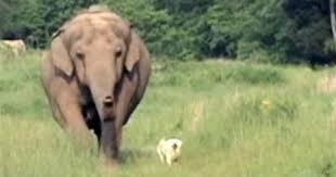 Blind Men And The Elephant Story For Children Tarra And Bella Elephant Loses Man U0027s Best Friend Cbs News
