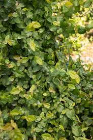 creeping fig monrovia creeping fig