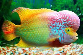 ornamental fish dafrak pets line