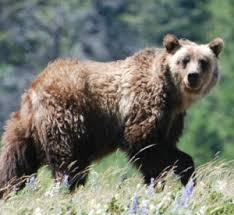 Bears Montana Hunting And Fishing - montana wildlife agency upland game bird hunters should expect to