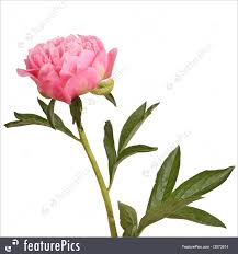 peony flowers flowers pink peony flower and stem stock image i2973614 at