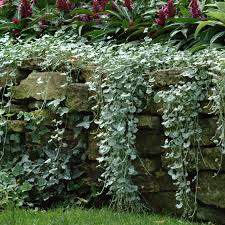 silver falls dichondra ground cover seeds p pkt of 10 seeds