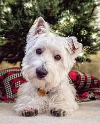 westie puppy with tree photograph by wes iversen