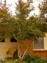 Houston Urban Gardeners Pride Of Houston Yaupon Holly Plants For Houston Pinterest