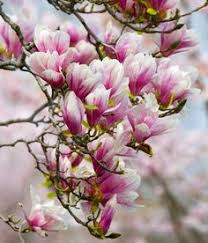 meaning and symbolism of a magnolia flower flower