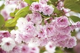 ornamental cherry tree selection