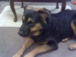 belgian shepherd x rottweiler 7 month old german shepherd x rottweiler for sale pets for sale