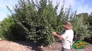 Blackmoor Fruit Trees - summer pruning fruit trees 2015 youtube