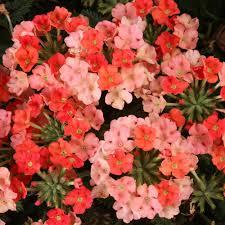 verbena flower proven winners superbena royale peachy keen verbena live plant
