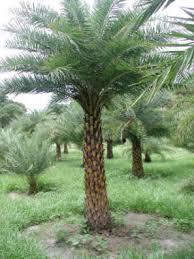 sylvester palm tree price sylvester palm hardy palm tree farm