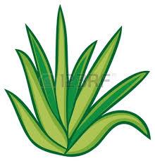 aloe vera plant stock vector illustration cactus pinterest