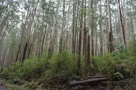 file eucalyptus trees in modumalai forests jpg wikimedia commons