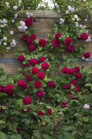 236 best climbing roses images on pinterest climbing roses