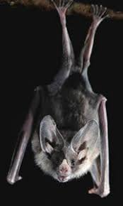 As Blind As A Bat Meaning Getting Around By Sound Human Echolocation Neuroanthropology