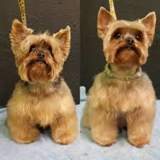 repinned before u0026 after yorkie grooming