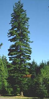 pine species common trees of the pacific northwest