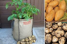 Container Gardening Potatoes - how to grow potatoes in potato planter bags container gardening