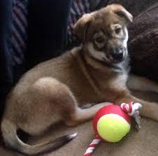 australian shepherd husky lab mix allmutt com pictures of mix breed dogs