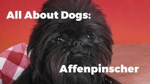 affenpinscher vs brussels griffon help me get a puppy all about dogs affenpinscher youtube