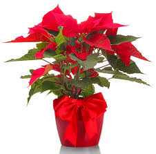 Pointsettia How To Grow And Care For Poinsettia Love The Garden