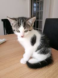 2 beautiful kittens for sale doncaster south yorkshire