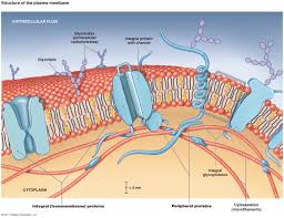 cell membrane model bing images biology pinterest cell