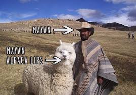 Alpaca Sheep Meme - december mayan alpaca lips best memes 2012 popsugar tech photo 12