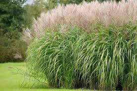 10 ornamental grasses for winter gardens