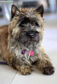 brindle cairn haircut gallery cairn terrier club of america puppies pinterest