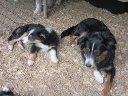 australian shepherd quesnel mini australian shepherd x sheltie duncan cowichan