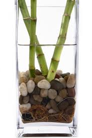 rotting lucky bamboo plants tips for preventing rot in lucky bamboo