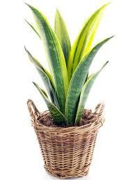 plante d駱olluante chambre 11 plantes vertes dans la chambre contre les troubles du sommeil