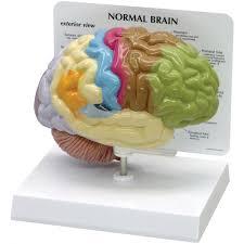 3d Head Anatomy Gpi 2950 Sensory And Motor Half Brain Model