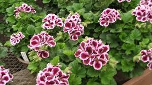 Geranium by How To Grow Geraniums Indoors Or Outdoors Which Plants Best Suits