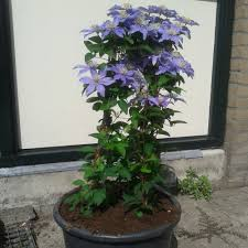 clematis balkon clematis cheap as climbers go
