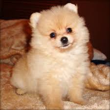 Seeking Teacup Teacup Pomeranian Puppies Tea Cup Pomeranian Puppies Available