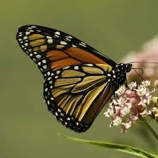 species profile monarch butterfly danaus plexippus rainforest