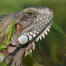 green iguana national geographic