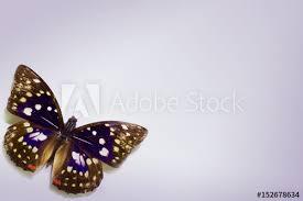 dreaming purple spot butterfly laos beautiful butterfly on the
