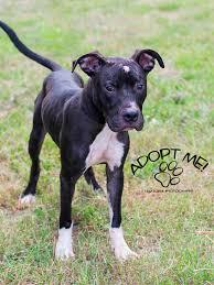 boxer dog meme black pitbull boxer mix hazel pinterest pitbull boxer mix